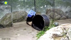 2017_07-18a (gkoo19681) Tags: beibei chubbycubby fuzzywuzzy honeycrate noleftovers boredom hopeful sillygoober toocute beingadorable ccncby nationalzoo