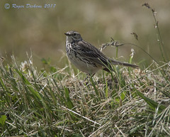 Meadow pipit 04 (Roger Dickens) Tags: meadowpipit anthuspratensis donnanook lincolnshire pentax300mm 17xconverter pentaxk3