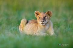 Simba (Vinaya Mohan) Tags: simba lionking masaimara kenya lion wild animal