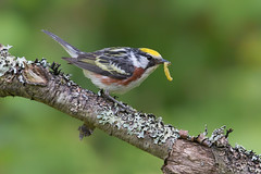 Chestnut sided warbler (Phiddy1) Tags:
