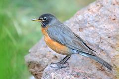 American Robin (Turdus migratorius); Sandoval County, NM, Thompson Ridge [Lou Feltz] (deserttoad) Tags: nature newmexico bird wildbird songbird thrush robin mountain