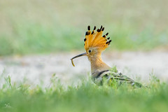 H O O P O E (faisy5c) Tags: bird wildlife animal nature grass noperson wild outdoors filed little park food cute environment sideview color nikon nikond7100 d7100 nikonafs200500mmvr faisy5c 5ccha