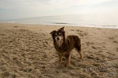 SZP_8824_pslr5 (Lakeside Annie) Tags: 2017 20170719 aussie australianshepherd bethanybeach bethanybeachde bethanybeachdelaware d7100 delaware denali july19 leannefzaras nikon nikond7100 redtri redtriaussie sarazphotography sigma sigma1770mm wednesday beachdog dog sandynose sandypaws beach delawarebeach