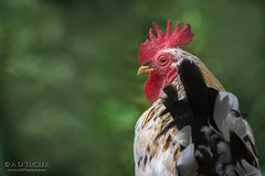 El Gallo (a.o.tucker) Tags: chickens farmanimals nicaragua pslayers roosters sannicolas