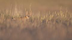 Swift Fox (carolinaaf14) Tags: fox swiftfox kit wyoming