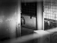 _DSC2274-3 (Giuseppe Cocchieri) Tags: cani cane dog dogs kennel canile bw blackwhite blackandwhite bianconero biancoenero