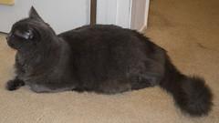 Camera-shy 2 -[ Happy Caturday ]- >>Explored<< (Carbon Arc) Tags: happycaturday posingforthecamera cat feline furball posing fluffball fluffy