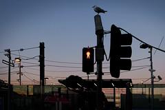 - (_barb_) Tags: australia melbourne frankston sunset trafficlight urban seagull