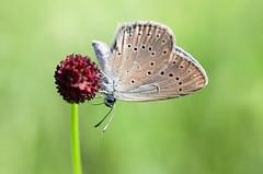 Heller Wiesenknopf-Ameisenbläuling │ Scarce large blue  Maculinea teleius (Bluesfreak) Tags: