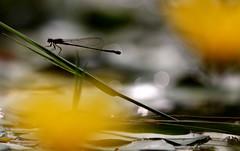 Doppia vita (lincerosso) Tags: libellule damigelle ischnuraelegans predatori stagno acqua superficie vita estate bellezza armonia