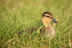 Mallard Duckling (NicoleW0000) Tags: mallard duckling duck cute fuzzy baby bird