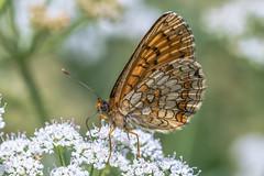 Wachtelweizen-Scheckenfalter (Melitaea athalia) (AndreLo2014) Tags: wachtelweizenscheckenfalter melitaea athalia tagfalter butterfly sony sigma macro nature
