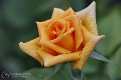 Nevena Izirov - Golden petals (Nevena Uzurov) Tags: rose flower plant garden nature love romantic petals nevenauzurov serbia
