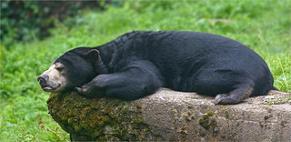Resting Malayan Sun Bear