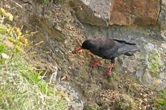 Red-billed Chough, Marloes Peninsula, Dyfed, Wales, 17th July 2017 (john.grearson) Tags: chough taxonomy:binomial=pyrrhocoraxpyrrhocorax