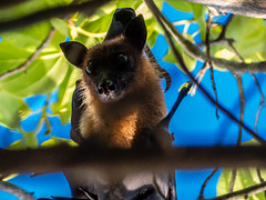 P1000803 (Pro Sixty) Tags: maldives meedhupparu bat fruitbat panasonic lumix fz200 wildlife