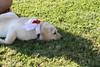 Gala on the Grass - 7-4-2017 (kimstrezz) Tags: 2017 fourthofjuly july4th blockparty 4thofjuly fourthofjuly2017 july4th2017 gala dog puppy servicedog goldenretriever