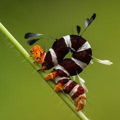 A Pole Dance for Darwin (zimbart) Tags: arthropoda calpinae coutada12 erebidae fauna heterocera lepidoptera moths mozambique nhagocamp ranidophora insects