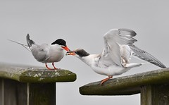 Tern Feeding Time (KoolPix) Tags: tern bird beak feathers mnsa marinenaturestudyarea wings koolpix jaykoolpix naturephotography nature wildlife wildlifephotos naturephotos naturephotographer animalphotographer wcswebsite nationalgeographic fantasticnature amazingnature wonderfulbirdphotos animal amazingwildlifephotos fantasticnaturephotos incrediblenature naturephotographywildlifephotography wildlifephotographer mothernature terns ternfeeding birdfeeding