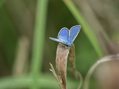 Common Blue - Polyommatus icarus (ArtFrames) Tags: bucknellwood common blue polyommatus icarus uk butterflies lepidoptera insects colour autumn