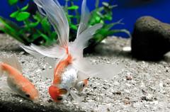aquarium fish gold iphone bangalore (Photo: ahabeebur on Flickr)