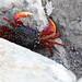 Cangrejo de litoral IMG_5687