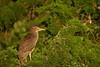 Juvenile Black Crowned Night Heron (Mark Schwall) Tags: wildlife markschwallphotographycom d500 nikon nikkor600mmf4ais newjersey nj southernnewjersey bird heronry rookery wadingbird manualfocus blackcrownednightheron nycticoraxnycticorax juvenile