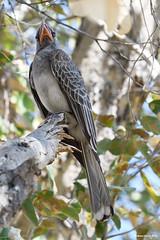 Red-Billed Hornbill (naturalturn) Tags: hornbill redbilledhornbill savanna tree savuti chobe chobenationalpark botswana image:rating=5 image:id=205068