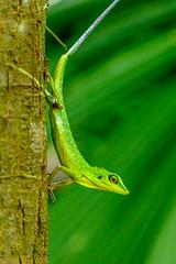 20170725-5D4_9574 (shutterblades) Tags: bukittimahnaturereserve canon100400lmkii14tc canon5div greengeckolizard hindhedenaturepark lizard