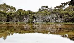 DSC_0261 Reflections in flood water on an Australian farm. (jangurney) Tags: nikon d5500 sigma reflections flood trees