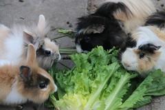 My Cuties! (Serenity Shots) Tags: bunny bunnies guineapig guineapigs konijn konijntje konijntjes cavia cavias rodent knaagdier cute schattig nori wasabi ren stimpy