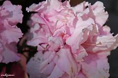 old pink petals (archgionni) Tags: natura nature fiori flowers petali petals rosa pink
