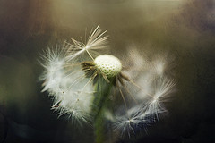 Wishes (SereSima) Tags: dandelions weed dof depthoffield view soft wishes seeds wind balance light shadow