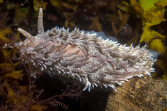 Nudi 2 (Shure Media) Tags: rockport massachusetts old garden beach hermit crab green barnacle nudibranch rock