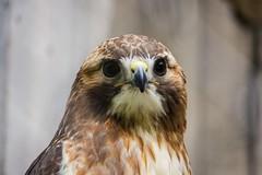 (marina~) Tags: mountsberg raptorcentre raptor canon halton conservation ontario milton hawk