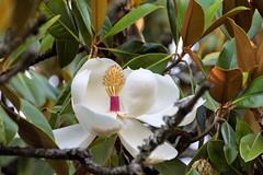 Magnolia-_DSC1187 (peruchojr) Tags: magnolia airelibre arbol