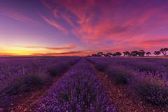 Tiempo de Lavandas (Julieta Portel) Tags: lavender brihuelga castillalamancha field landscape lavanda nature green tree cloudy country rural
