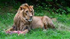 Tsavo (sigridspringer) Tags: säugetiere natur raubtiere raubkatzen afrikanischer löwe duisburger zoo könig der tiere