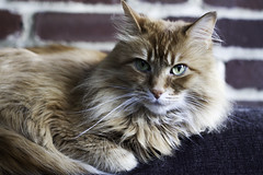 Mandy Monday: Monday Again? (Photo Amy) Tags: adorable aminal canon50d cat cuddly cute cuteness ef50mm18 eartufts feline fluffy fur furry ginger kitten longhair longhaired orange pet precious red tabby toefur whisker whiskers
