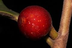 Ficus rubiginosa (andreas lambrianides) Tags: ficusrubiginosa moraceae rustyfig portjacksonfig australianflora australiannativeplants australianrainforests australianrainforestplants arfp nswrfp qrfp arffs subtropicalarf littoralarf redarffs