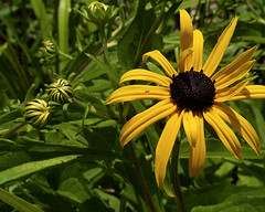 Susan (joeldinda) Tags: nikon 1v1 nikon1v1 v1 2014 home mulliken potter yard flowers blackeyedsusan 2436 july onthisdate 201366