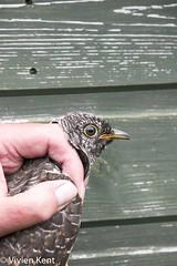 Juvenile cuckoo - newly ringed_2 (tau247) Tags: cuculuscanorus england hauxleynaturereserve bird birdringing cuckoo inhand juvenile nature research scientificresearch wildlife