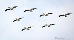 White Pelicans Flyby! (Ricky L. Jones Photography) Tags: canon teamcanon bird birding birder canonbringit canonfavpic canonfanpic birdwatching birdphotography nature naturephotography wildlife wildlifephotography wildliferefuge pelicans pelican flyby horicon horiconmarsh
