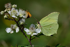 Brimstone complete with Skipper  Roydon NWT 2 (JohnMannPhoto) Tags: brimstone roydon nwt norfolk second generation butterfly