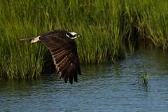 Osprey in Flight (Mark Schwall) Tags: birdinflight bif flight nikkor200500f56vrafs bird newjersey nj southernnewjersey nikon d500 markschwallphotographycom osprey pandionhaliaetus edwinbforsythenwr
