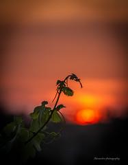 Branche sur soleil couchant. (alex7734) Tags: nature soleil coucher tourisme aude