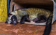 Asian palm civet (Paradoxurus hermaphroditus), or as commonly known in Indonesia as Luwak (beingsuplab) Tags: bali tirtaempul tampaksiring temple