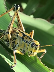 Curious Lubber is looking me over too! (jungle mama) Tags: lubber grasshopper gold armor antenna crinum leaf eye thorax biscayneparkflorida easternlubber romaleamicroptera romalea