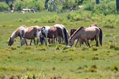 07082017-618-1 (bjf41) Tags: chincoteague horses wild herd colts