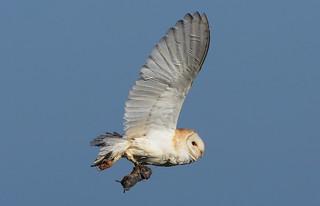 Barn Owl   (Lunt Meadows)